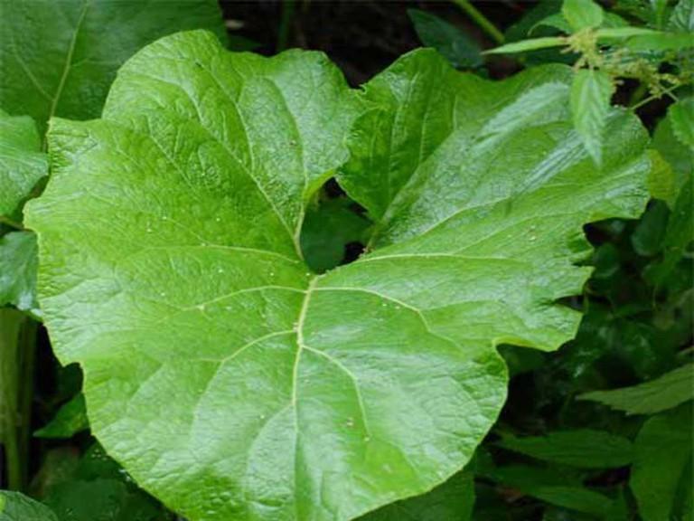 Травы от геморроя: горец почечуйный, кизил, ромашка, лавровый лист, алоэ, лопух, коровяк, подорожник, чистотел
